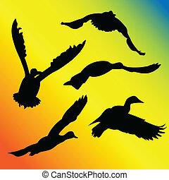 飛行, 黑色半面畫像, 鴨子