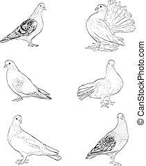 鴿子, 被隔离, 插圖, 黑色半面畫像, 背景, 白色