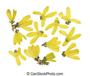 黃色, 或者, 背景。, 干燥, 使用, 按, 白色, 被隔离, 花, scrapbooking, 集合, herbarium., 連翹, floristry