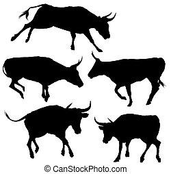 黑色半面畫像, 彙整, 公牛