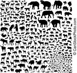 黑色半面畫像, 野生動物, 亞洲