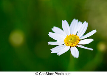 camomile, 雛菊, 單個, 白色, 綠色, 花, 草地