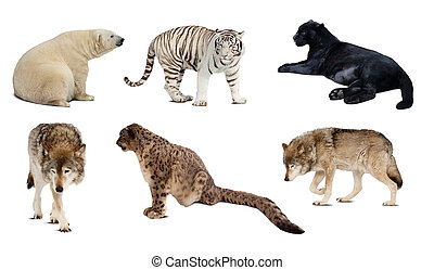 carnivora, 在上方, 被隔离, 集合, mammal., 白色