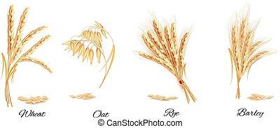 illustration., 小麥, 黑麥, barley., 矢量, 燕麥, 耳朵