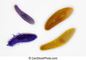 photography., 顯微鏡方法, paramecium.