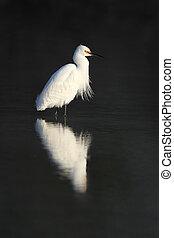 snowy 白鷺, 佛羅里達, -